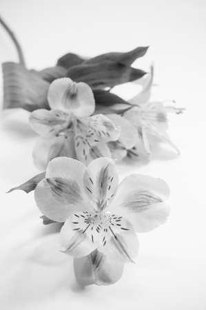 alstroemeria: Alstroemeria flowers, black and white