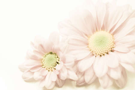 mums: Mums flowers colorful macro background Stock Photo