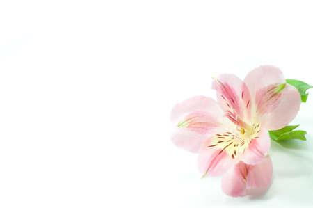 alstroemeria: alstroemeria flower on white background