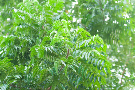 A branch of Azadirachta indica, neem tree showing compound leaves