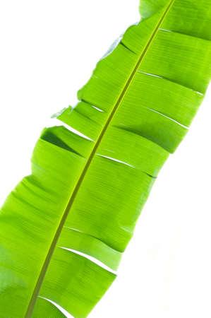 green lines: Banana leaves
