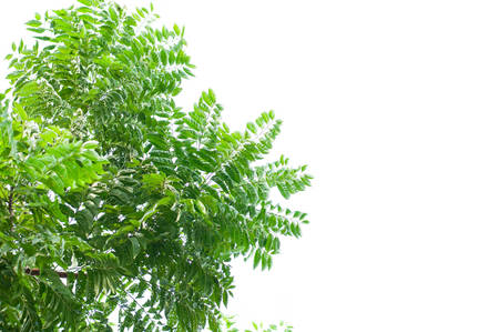 neem: A branch of Azadirachta indica, neem tree showing compound leaves