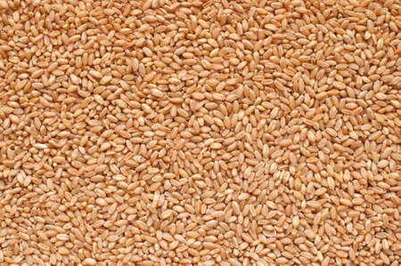 processed grains: Processed organic wheat grains as agricultural background.