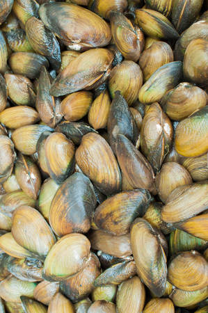 Mytilus edulis (The common or edible mussel) living on rocks