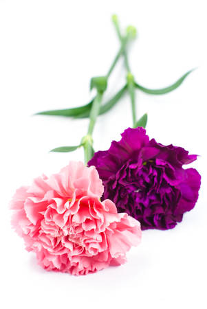 pink carnation on white background Stock Photo