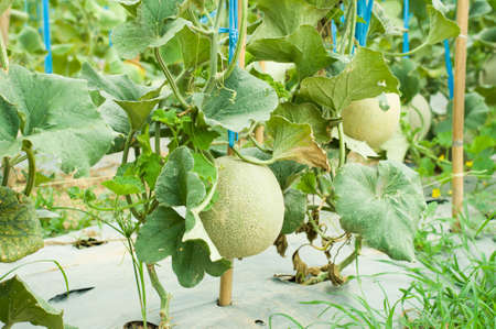 Cantaloupe melons growing in a greenhouse supported by string melon nets. selective focus
