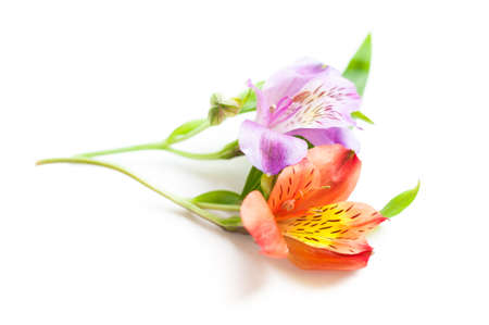 Alstroemeria flower with on isolated Stock Photo