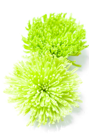 Green Chrysanthemum isolated on white background