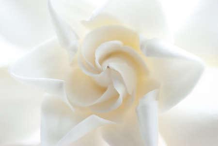Gardenia, white flower background Stock Photo