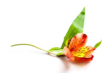 Alstroemeria flower close up