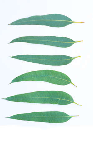 Eucalyptus leaves isolated on white background