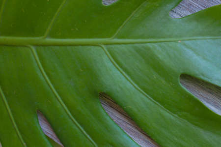 Green leaves of Philodendron Xanadu on wooden background