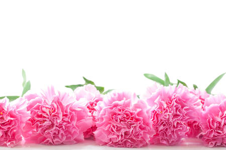 Carnation isolated on white background Stock Photo