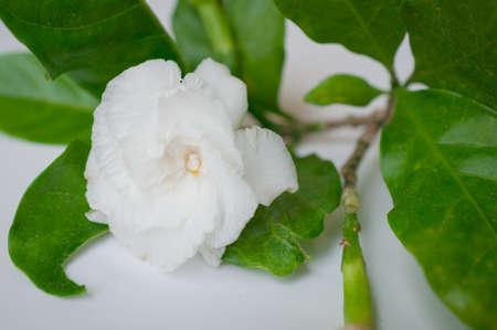 Gardenia jasmine on grey background