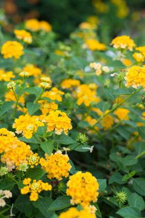 Cloth of gold flowers, Lantana camara