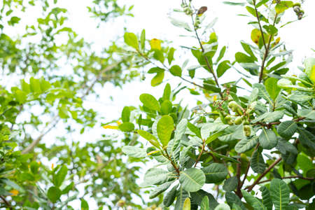 Cashew nuts on  branch with green leaves