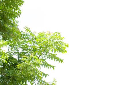 Azadirachta indica의 가지, 복합 잎을 보여주는 님 나무