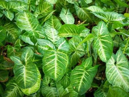 Green leaves of Syngonium podophyllum