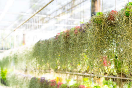 Spanish moss in plant shop Stock Photo