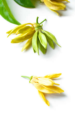 Ylang ylang flowers isolated on white background