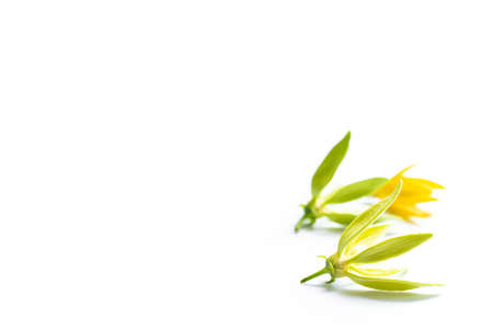 Yellow and green ylang ylang flower isolated on white Stock Photo