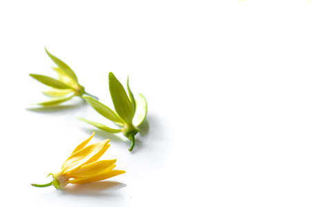 Yellow and green ylang ylang flower isolated on white