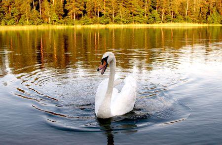 swan is swimming on lake Stock Photo