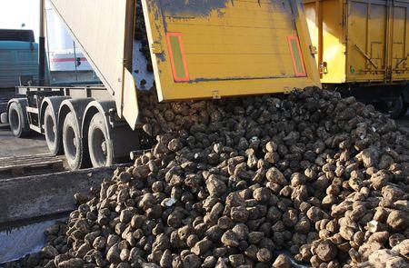unloading beet suga