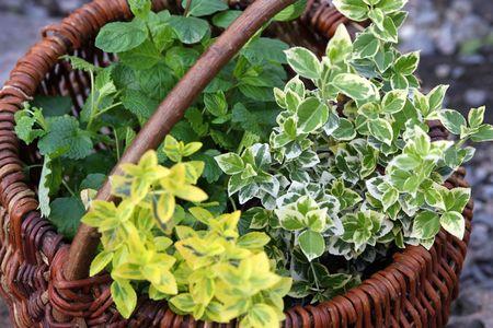 ingradient: green fresh herbs in basket