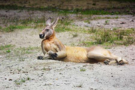 Kangaroo sitting Imagens
