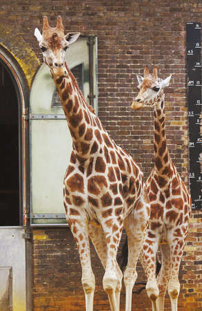 Two Giraffes in London Zoo Imagens