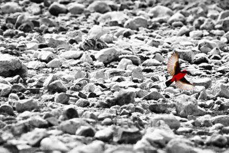 Redbreast flying Reklamní fotografie