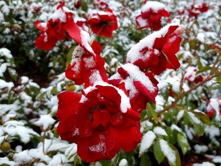 눈과 빙으로 덮인 빨간 장미
