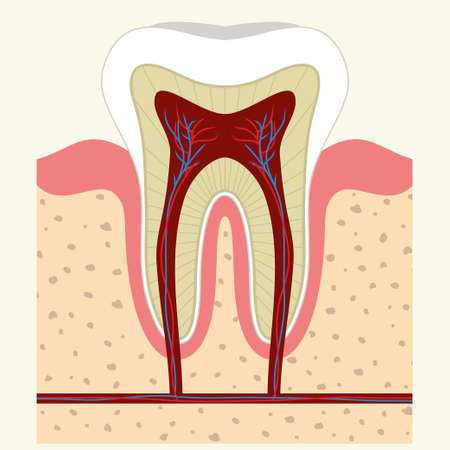 Human tooth and gum in a cross section. Root canal. Detailed anatomy. Vector 일러스트