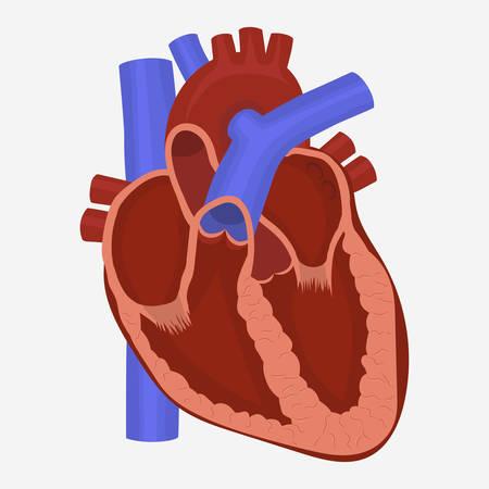 Menselijk Hart anatomie, wetenschap geneeskunde gezondheidszorg vector illustratie
