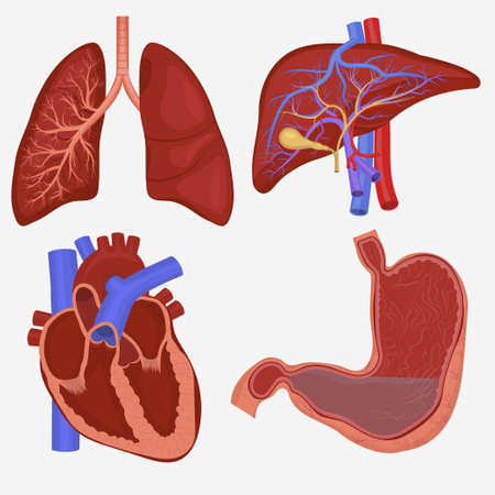 bile: Human internal organs set. Lungs, Liver, Stomach and Heart anatomy. Vector illustration