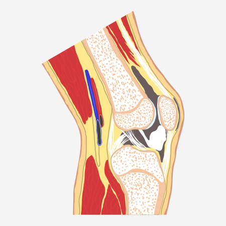 Human knee joint, medical body anatomy, orthopedic clinic, leg diagram. Vector