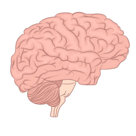 Human brain organ anatomy diagram. lateral view. Colorful design. Brain psychology side view. Neurology education. Medically accurate illustration. Vector