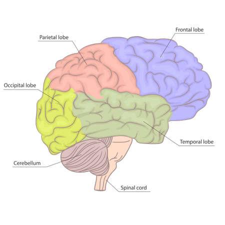 Partes del cerebro humano, diagrama de anatomía de órganos. Vista lateral. Diseño colorido. Vista lateral de la psicología cerebral. Educación en neurología. Ilustración médicamente exacta. Vector