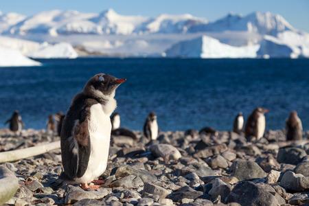 gentoo: Cuverville Island Gentoo penguins, Antarctica Stock Photo