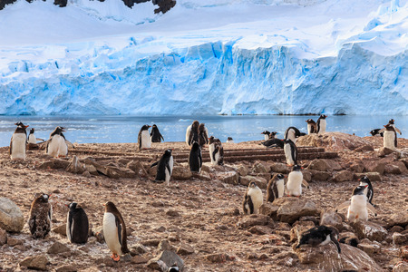 Gentoo penguin flock on the rocks and blue glacier in the background at Neco bay, Antarctic