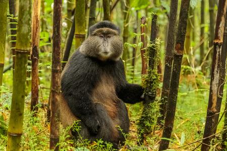 Rwandan golden monkey sitting in the middle of bamboo forest, Rwanda