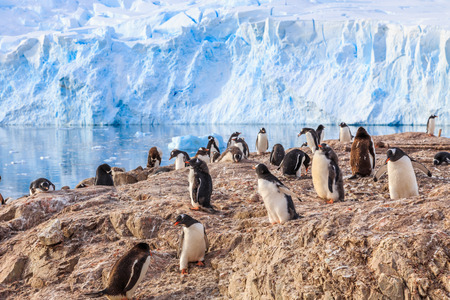 overcrowded: Various gentoo penguins overcrowded the rocky coastline and glacier in the background at Neco bay, Antarctic
