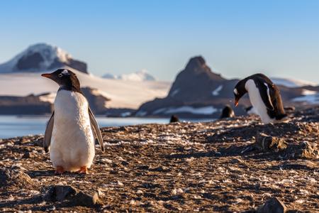 Gentoo penguins chicks enjoing the sun at the Barrientos Island, Antarctic Stock Photo