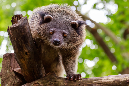 Binturong or philipino bearcat looking curiously from the tree, Palawan, Philippines