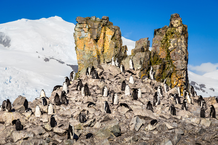 Flock of chinstrap penguins standing on the rocks with snow mountain in the background, Half Moon island, Antarctic peninsula