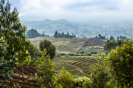 Green farmland fields landscape in Virunga volcano national park, Rwanda