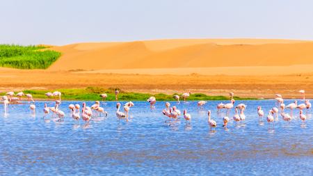 Flock of pink flamingo among the lake and dunes in Kalahari Desert, Namibia