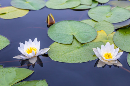 Two white water lilies with green leaves on the still lake surface