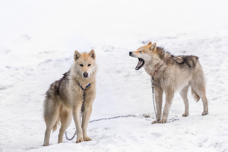 Two greenlandic Inuit sledding dogs standing on alert in the snow, Sisimiut, Greenland Stockfoto